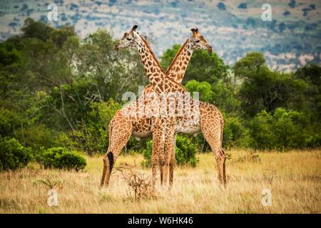 Due Masai giraffe (Giraffa camelopardalis tippelskirchii) attraversando il collo da alberi, Serengeti; Tanzania