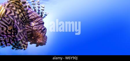 Nuoto leone rosso. Pterois miles. pericoloso, straordinario, oceano velenoso pesce. sfondo blu. profondità di campo, il fuoco selettivo. copia
