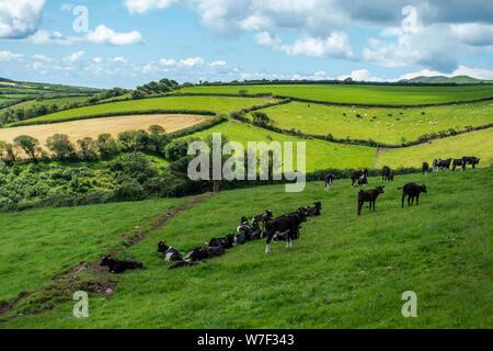 Le mucche al pascolo in lussureggianti e verdi pascoli sulla penisola di Dingle nella Contea di Kerry, Repubblica di Irlanda Foto Stock