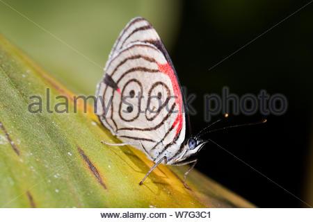 Il Cramer's ottantotto, Diaethria clymena meridionalis, sulla foglia di banano. Una delle più belle farfalle provenienti dal Brasile. Foto Stock