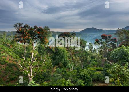 Fiamma di alberi della foresta fioritura su una piantagione di tè vicino a Hatton, Highlands Centrali, Sri Lanka. Dicembre 2011. Foto Stock