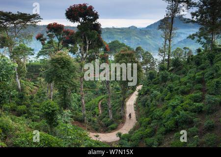La via che corre attraverso una piantagione di tè vicino a Hatton, Highlands Centrali, Sri Lanka. Dicembre 2011 Foto Stock