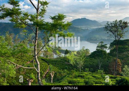 Una piantagione di tè vicino a Hatton, Highlands Centrali, Sri Lanka. Dicembre 2011 Foto Stock