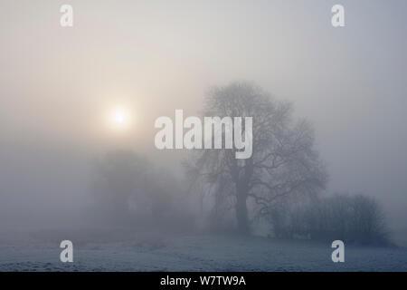 Il sorgere del sole dietro il frassino (Fraxinus excelsior) in caso di nebbia fitta. Bonsall, Parco Nazionale di Peak District, Derbyshire, Regno Unito, Marzo. Foto Stock