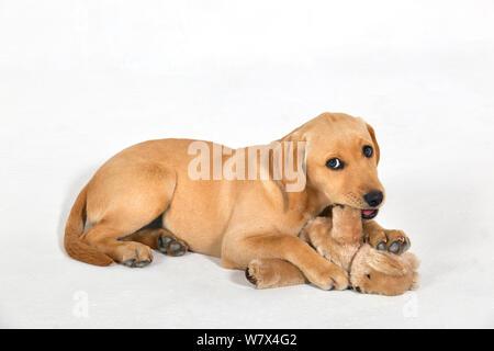 Giallo Labrador cucciolo con Teddy bear. Foto Stock