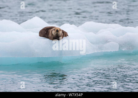 Sea Otter (Enhydra lutris) su ghiaccio floe, Prince William Sound, Alaska, Stati Uniti d'America. Giugno. Foto Stock