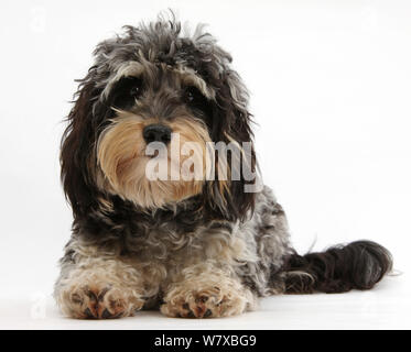 Tricolore merle Bassotto x Poodle 'Daxie doodle' cane. Foto Stock