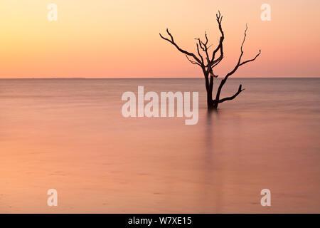 Albero morto in mare presso sunrise Cimitero in Spiaggia, Botany Bay Plantation Wildlife Management Area su Edisto Island, South Carolina, Stati Uniti d'America. Modifica delle maree hanno trasformato quello che una volta era la foresta in una spiaggia. Foto Stock