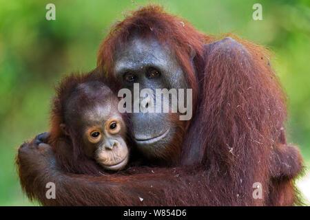 Bornean Orangutan (Pongo pygmaeus wurmbii) femmina 'Unyuk' cuddling sua figlia 'Ursula', di età di 4 anni. Camp Leakey, Tanjung messa National Park, Kalimantan centrale, Borneo, Indonesia. Giugno 2010. Riabilitate e rilasciate (o discendere da) tra 1971 e 1995. Foto Stock
