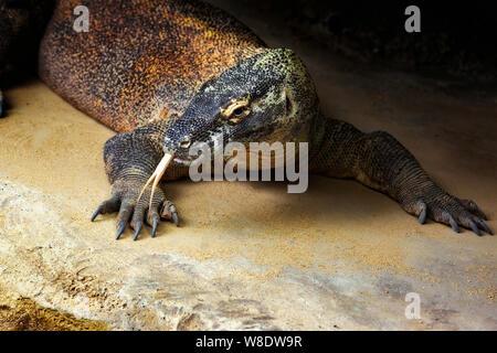 Drago di Komodo in allo Zoo di Taronga