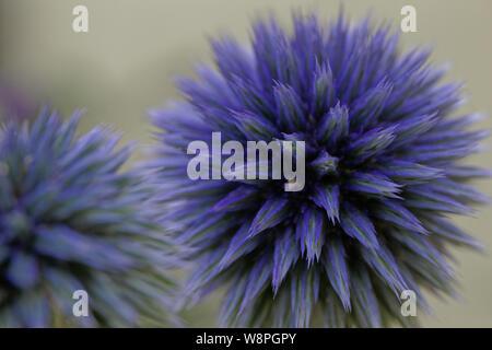 Blue Globe thistle fino vicino (echinops) Foto Stock