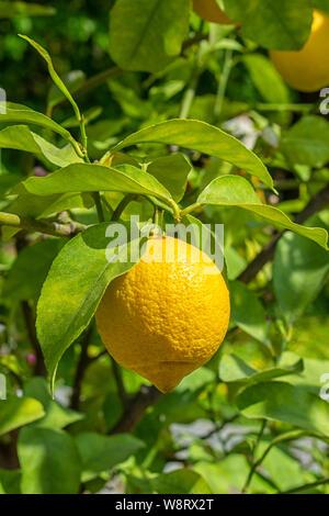 Lemon Tree con maturi limone giallo frutti pendenti su di un ramo tra le foglie. Citrus lemon in natura, bel frutto della pianta di limone, verticale. Sour ri Foto Stock