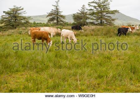 Le mucche al pascolo in pascolo vicino al Derreenataggart Stone Circle, Derreenataggart West, nella contea di Cork, munster, irlanda Foto Stock