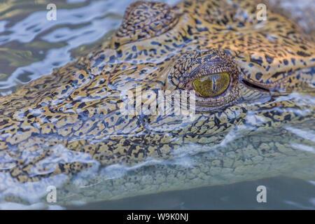 Wild coccodrillo di acqua salata (Crocodylus porosus) testa dettaglio in poroso creek sulla Hunter River, Mitchell River National Park, Kimberley, Australia Foto Stock