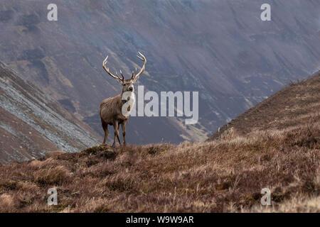 Red Deer Cervo Cervus elaphus in marrone cappotto invernale maestosamente situato un elevato grassy knoll con Highlands scozzesi in background
