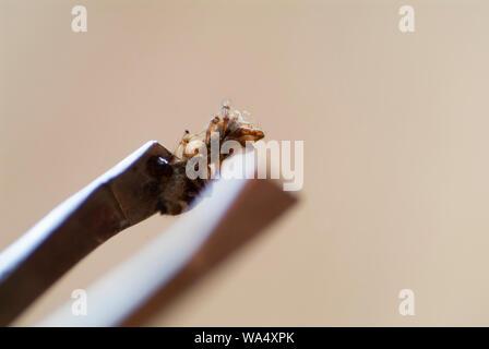 Autoptico ARACHNID: Un esame approfondito e la ricerca di un corpo morto ragni Foto Stock