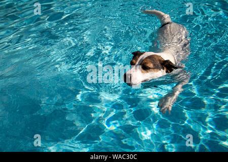 Jack Russell Terrier cane a nuotare in acqua chiara su una soleggiata giornata estiva Foto Stock