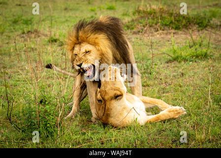 Leone maschio bares denti coniugati in erba Foto Stock