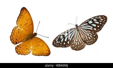 Blu pallido Tiger e Yeoman comune , farfalle coloratissime farfalle isolati su sfondo bianco Foto Stock