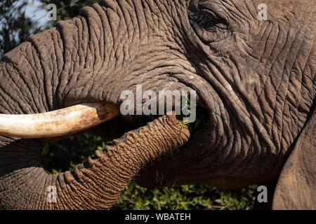 Elefante che mangia Foto Stock