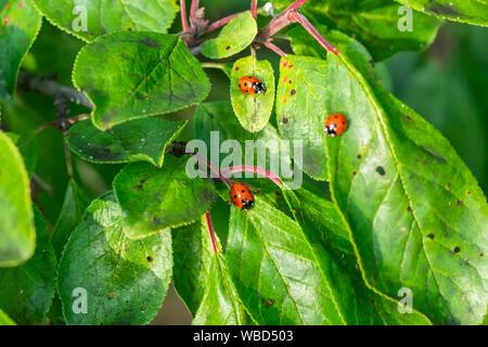 Red ladybugs su foglie verdi in giardino