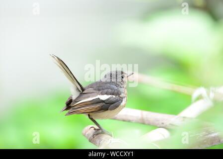 Oriental Magpie Robin Juvenile /Copsychus saularis