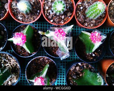Direttamente al di sopra dei vari Cactus in vasi sulla cassa Foto Stock