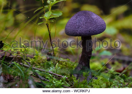 Eccezionalmente bello fungo con colorazione viola in foreste svedesi. VIOLA - fungo Cortinarius tendente al violaceo Foto Stock