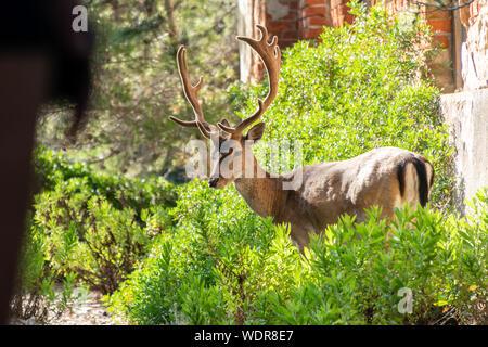 Ritratto di maestose potente giovane cervo rosso cervo nella natura Foto Stock