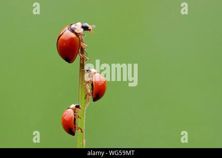 Close-up di Ladybugs sul ramoscello