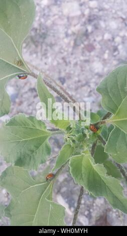 Angolo di Alta Vista Ladybugs su impianto