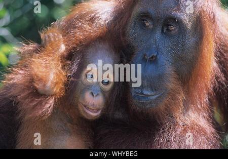 Orangutan abbracciando giovani close-up Foto Stock