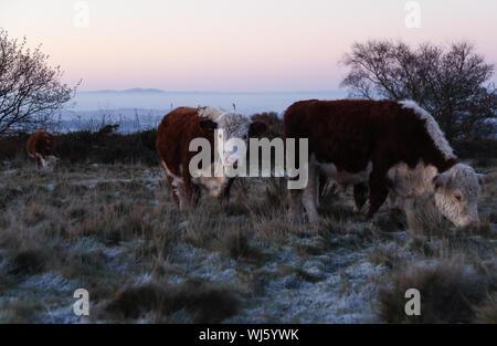 Vacche sul campo contro Sky durante il periodo invernale Foto Stock