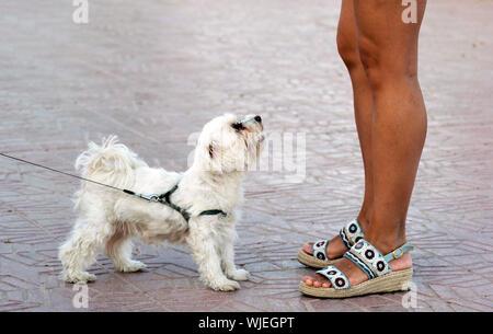 Grazioso piccolo cane bianco da parte del suo proprietario guardando a lei. Basso angolo di doggy guardando al proprietario. Proprietario di piedi accanto al cane bianco. Cani come amichevole animali domestici o animali.