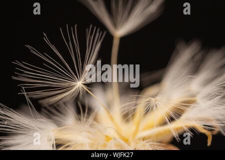 Morbido fiore di tarassaco, extreme closeup, abstract molla sullo sfondo della natura Foto Stock