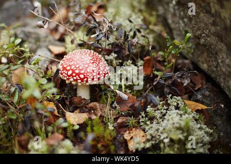 Red fly agaric fra la foresta muschi e licheni