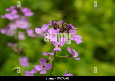 Bella viola i fiori delle ortensie Fioritura in estate Foto Stock