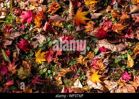 Colorato Autunno varie foglie cadute a terra. foglia secca la superficie del coperchio della terra. close-up, vista in pianta da sopra, multicolore stagionale bello