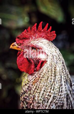 Close-up vista laterale di un gallo Foto Stock