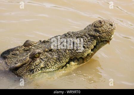 In prossimità della testa di un coccodrillo di acqua salata galleggiante sul fiume superficie, Adelaide River, Australia Foto Stock