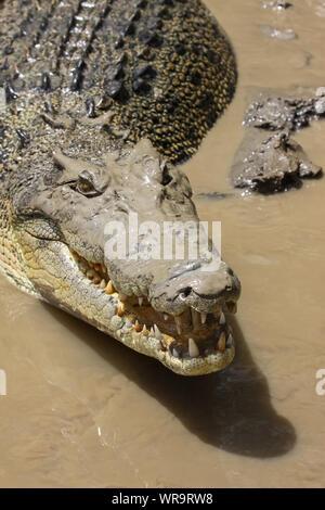 Close up di un coccodrillo di acqua salata sulla riva del fiume, il fiume di Adelaide, Australia Foto Stock
