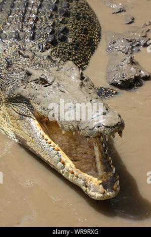 Close up di un coccodrillo di acqua salata con bocca aperta sulla riva del fiume, il fiume di Adelaide, Australia Foto Stock