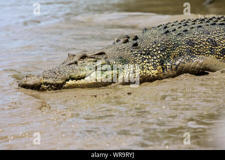 Close up di un coccodrillo di acqua salata in appoggio sulla riva del fiume, il fiume di Adelaide, Australia Foto Stock