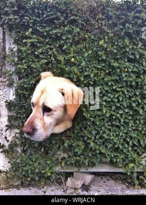 Cane spiata attraverso Hedge Foto Stock