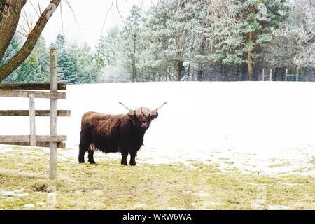 Highland bovini in piedi sul campo durante il periodo invernale Foto Stock