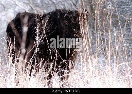 Nero Highland mucca durante il periodo invernale Foto Stock