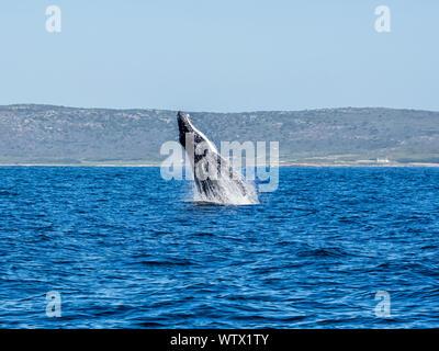 Un Humpback Whale violazione di fronte a Cape Point in False Bay, Sud Africa