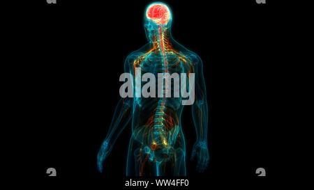 Organo centrale del sistema nervoso umano anatomia cerebrale Foto Stock