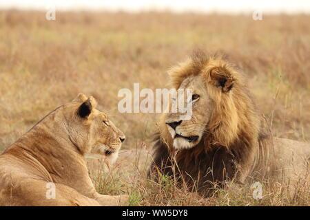 Leone e leonessa nella savana, il Masai Mara National Park, in Kenya.
