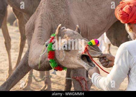 Indian uomini e allevamento di cammelli nel deserto di Thar durante il Pushkar Camel Mela vicino alla città santa di Pushkar, Rajasthan, India. Questa fiera è il cammello più grande fiera commerciale